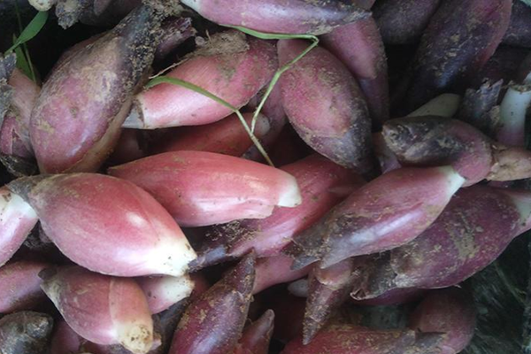阳荷姜价格多少钱一斤?阳荷姜的种植技术有哪些?