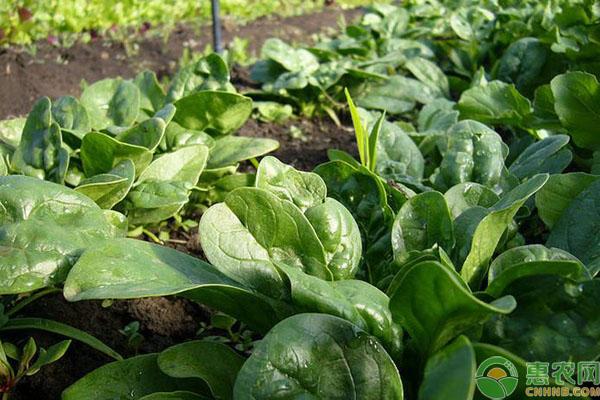 菠菜品种介绍