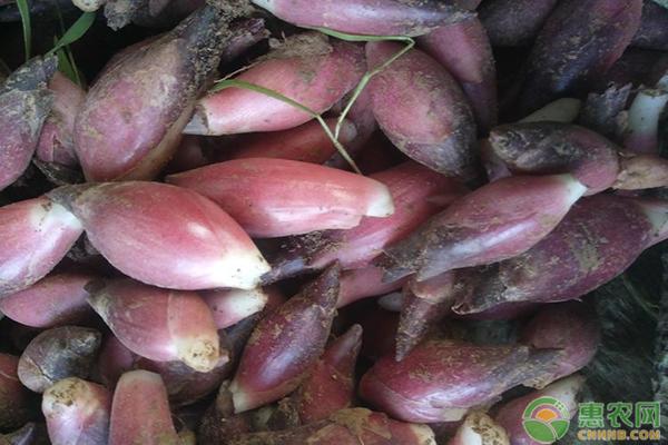 阳荷姜的种植技术