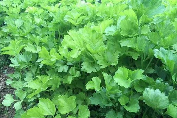 芹菜价格多少钱一斤?芹菜的种植方法有哪些?