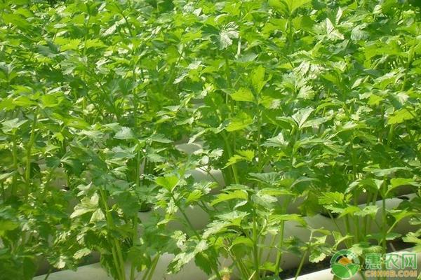 芹菜的种植方法