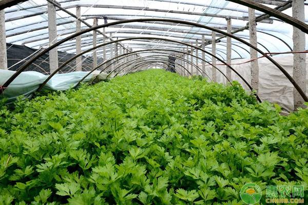 芹菜价格多少钱一斤