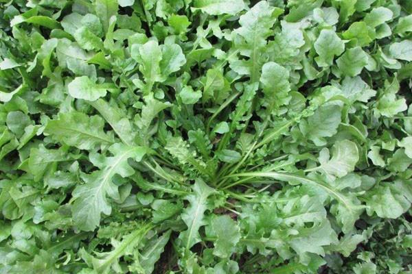 哪些野菜可以人工种植?适合人工种植的10种野菜利润介绍