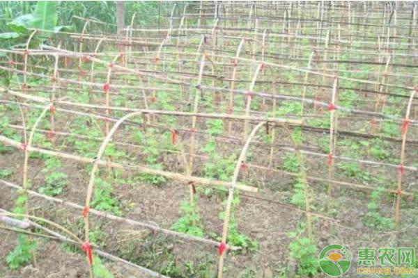大棚苦瓜高效种植技术