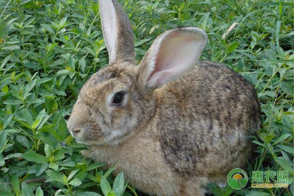 广东村民农村养兔成带头人,带动村民共同养兔增收!