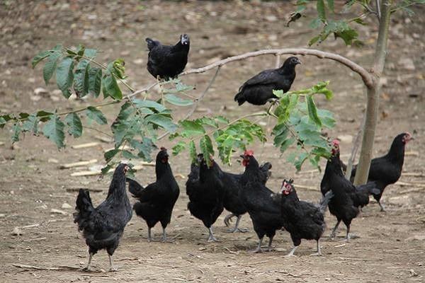 三都县中和镇:养好致富绿壳蛋鸡,走脱贫攻坚新路子