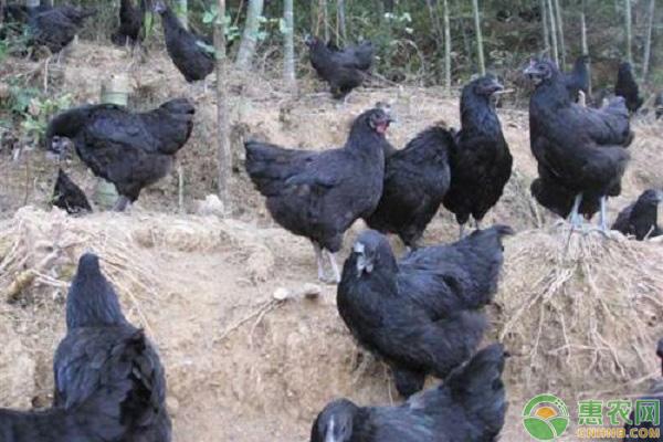 绿壳蛋鸡项目发展