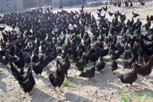 绿壳蛋鸡致富道路