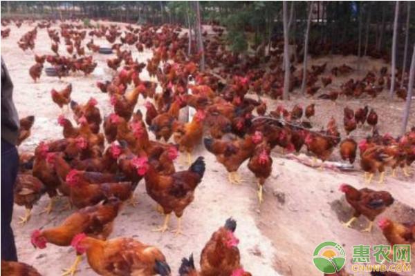 辣椒在养鸡过程中的作用