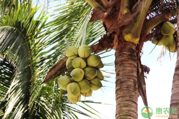 椰子的施肥技术