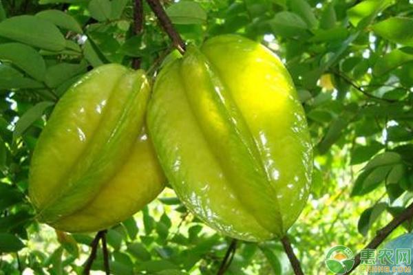 红杨桃价格多少钱一斤