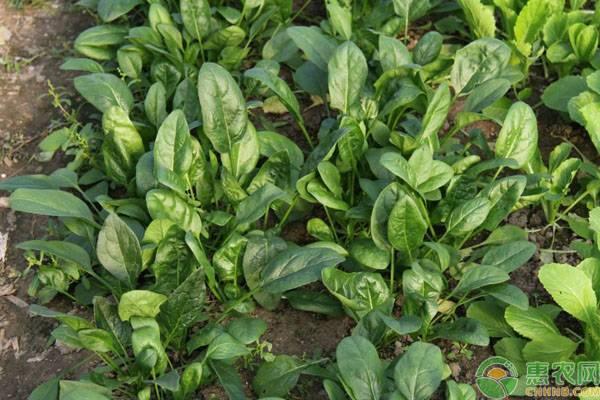 菠菜什么时候种最合适?菠菜种植技术和时间