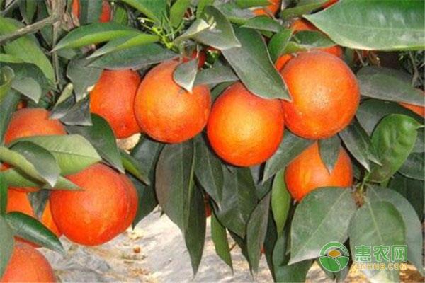 血橙主要种植的三个优良品种介绍