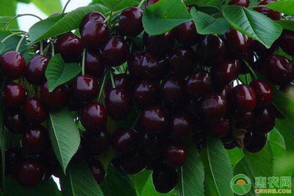 黑珍珠樱桃的种植技巧