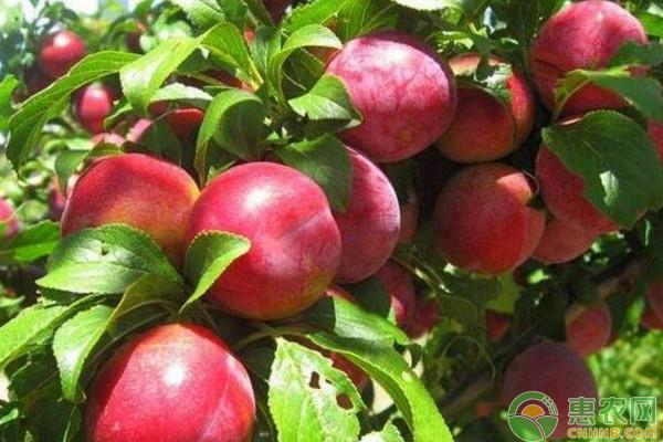 桃子有哪些品种?哪个品种最好吃?