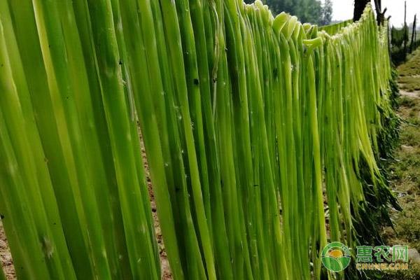 贡菜的种植前景如何?