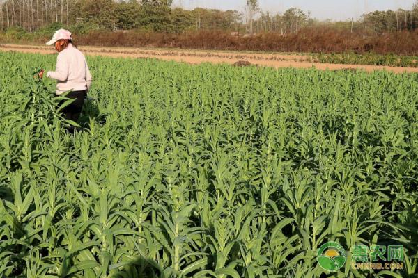 贡菜的种植技术