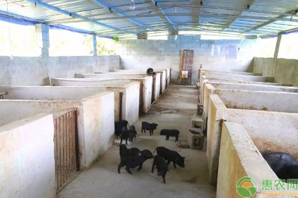 藏香猪养殖