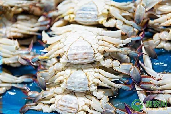 远海梭子蟹的特征