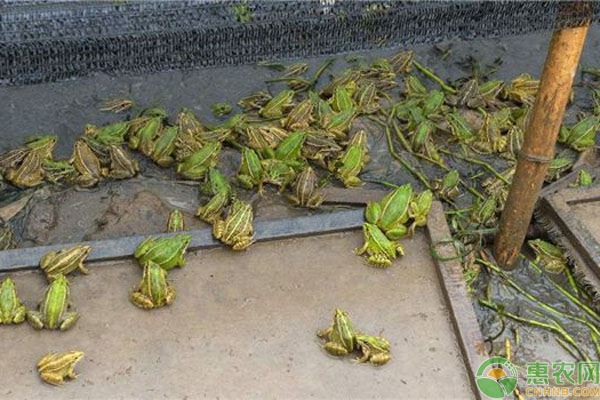 青蛙养殖致富