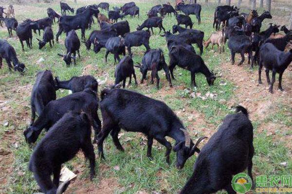 黑羊致富案例