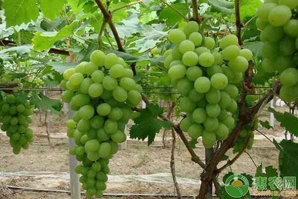 想要来年葡萄效益好,采收后需及时做好这几件事!
