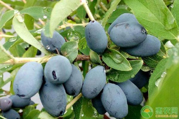 蓝靛果种植方法