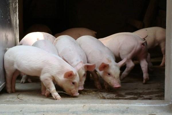 宜宾猪价格多少钱一斤?当前宜宾市的猪市动态是怎样?