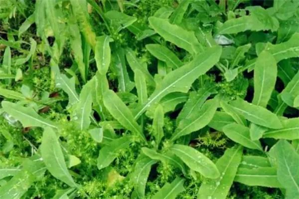 苦菜价格多少钱一斤?苦菜的栽种技巧有哪些?