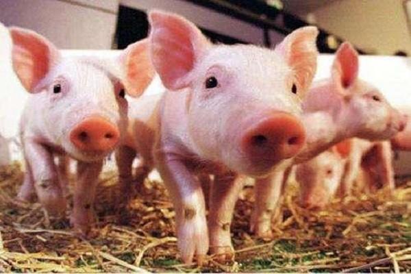 厦门猪的价格多少钱一公斤?近期厦门猪肉的行情走势如何?