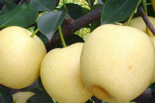 黄金梨价格多少钱一斤?为什么这么贵?