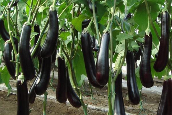很具有特色的九个茄子品种介绍