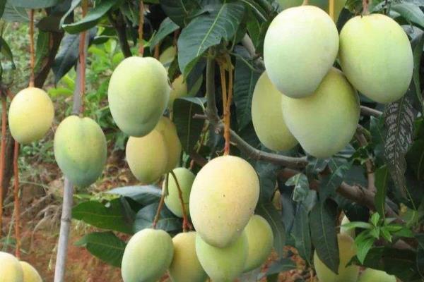 芒果哪个品种最好吃?最好吃的芒果品种排名