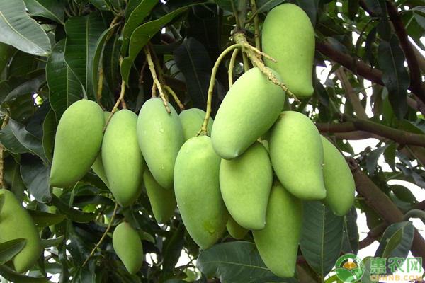 芒果哪个品种最好吃