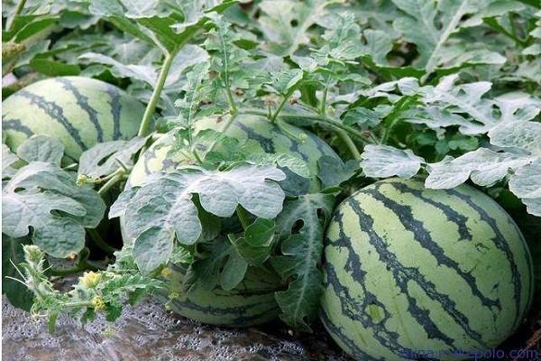 西瓜品种十大排行榜