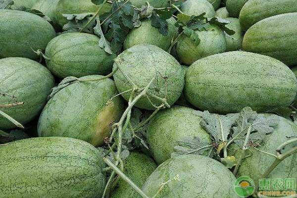 适合种植的西瓜品种