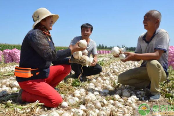 乃明莫墩村通过洋葱种植,圆了村民致富梦!
