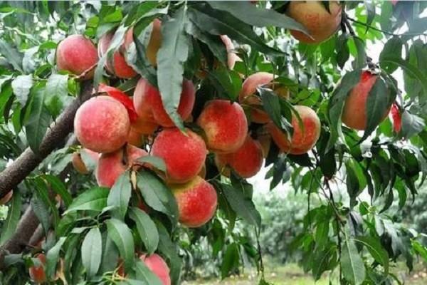 祥云县:走生态农业发展之路,让冬桃成为脱贫致富的金果果!