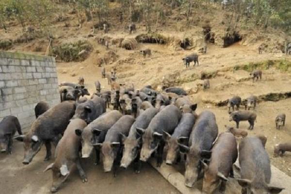 农村男子依靠野猪致富,秘诀就是绿色生态循环养殖!