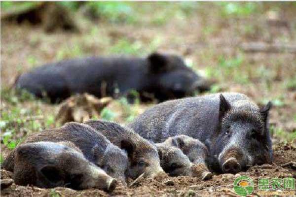 野猪产业养殖
