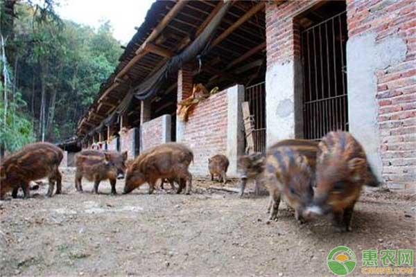 野猪致富道路