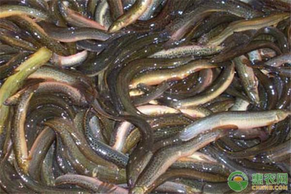 泥鳅价格多少钱一斤