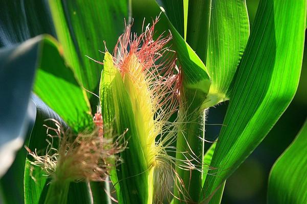 新型玉米的优良品种介绍