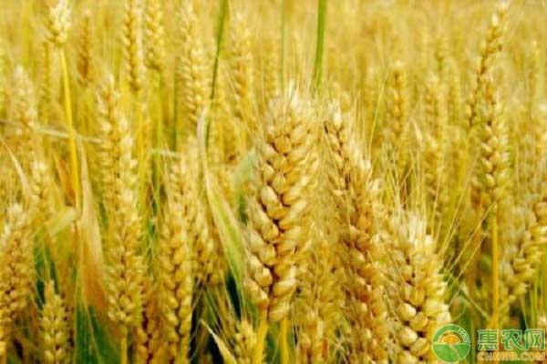 小麦市场行情