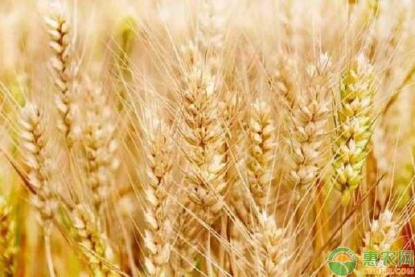 9月小麦市场行情