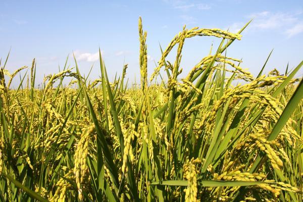 2019年9月水稻价格最新行情分析,影响水稻价格的因素有哪些?