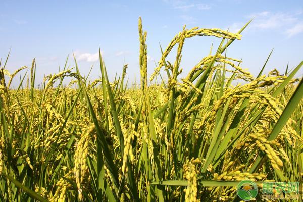 水稻价格最新行情