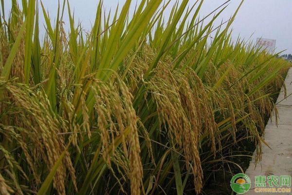 2019年9月水稻价格最新行情分析
