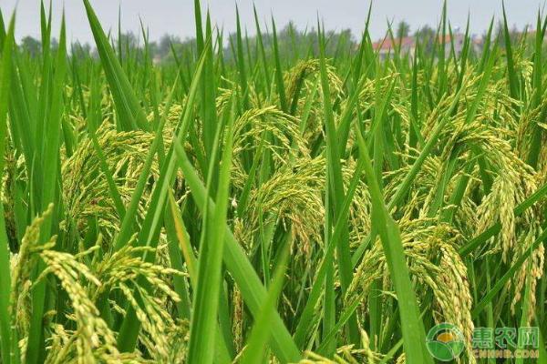 影响水稻价格的因素