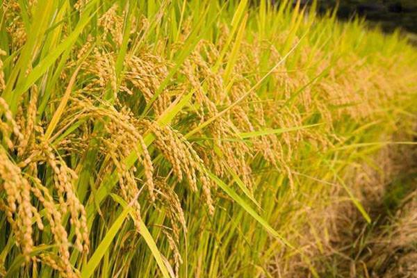 水稻种植户注意了,这几种水稻补贴直接发给种植者本人!
